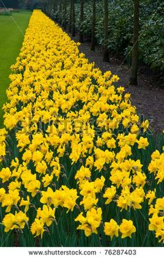 Daffodil Tete A Tete Value Pack  x18   Narcissus    Pinterest     Daffodil Tete A Tete Value Pack  x18   Narcissus    Pinterest   Daffodils   Flowers and Gardens
