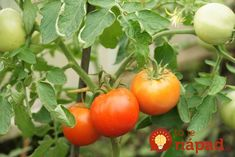Within two months of plunking tomato seedlings in the ground, the fruit should be filling out and starting to turn color. Tomato Pruning, Tomato Seedlings, Tomato Plants, Container Vegetables, Container Gardening, Organic Gardening, Gardening Tips, Vegetable Gardening, Rabbit Garden