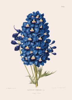 'Delphinium Formosum' Canvas Wall Art from the New York Botanical Garden collection. Botanical Wall Art, Botanical Drawings, Botanical Flowers, Botanical Gardens, Botanical Prints, Delphinium Flowers, Blue Flowers, Canvas Art Prints, Canvas Wall Art