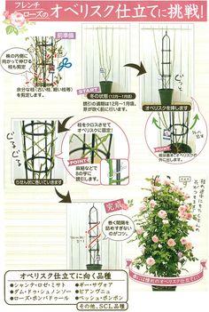 つるバラタイプのフレンチローズでオベリスク仕立てに挑戦!:2月の栽培ガイド:栽培ガイド 通販 engei.net