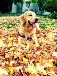 fall with a golden!