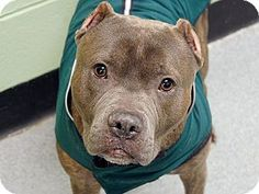 Ridgewood, NY - American Pit Bull Terrier Mix. Meet Truth a Dog for Adoption.
