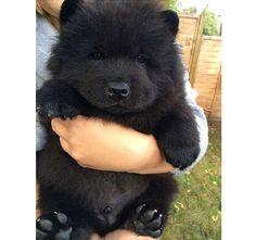 How much does a Chow Chow cost? Chow Chow puppy for sale price. Origin, attributes, personalities of Chow Chow dog breed. Cute Baby Animals, Animals And Pets, Funny Animals, Animals Kissing, Chubby Puppies, Dogs And Puppies, Doggies, Puppies Tips, Corgi Puppies