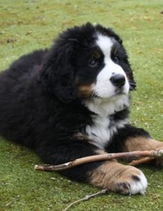 my husband really wants another Berner. Photos like this do not help...how sweet!