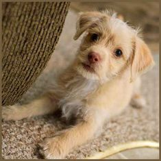 Butter the ChiPoo (chihuahua poodle mix)