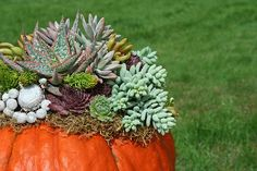 Succulent Pumpkins... perfect fall decorations that can be re-planted in your garden when the season's over.