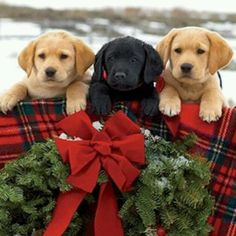 Mind Blowing Facts About Labrador Retrievers And Ideas. Amazing Facts About Labrador Retrievers And Ideas. Lab Puppies, Cute Puppies, Cute Dogs, Christmas Puppy, Christmas Animals, Tartan Christmas, Merry Christmas, Labrador Retrievers, I Love Dogs