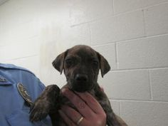 Palm Beach County, FL Animal Care and Control at (561) 233-1200 FLOWER - ID#A1752239 My name is FLOWER. I am a female, brindle Pit Bull Terrier mix. The shelter staff think I am about 9 weeks old. I have been at the shelter since Oct 18, 2014.