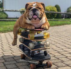 Bulldog Pics, Bulldog Puppies, British Bulldog, French Bulldog, Corgi Funny, Dog Shop, Bull Dog, English Bulldogs, Great British
