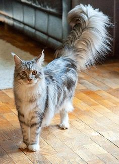 Maine Coon cat - can rival the size of small dogs and are highly intelligent, playful and energetic. Thrive in families that include children and other pets, including dogs. They have been known to stretch up, wrap their front paws on door knobs and open doors.