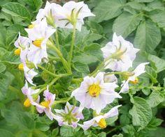 SOLANUM  TUBEROSUM Potato Tattoo, Love Flowers, Potatoes, Plants, Wild Flowers, Potato, Plant, Planets
