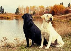"""Outstanding """"golden Labrador"""" information is offered on our site. Read more and you will not be sorry you did. German Shepherd Wallpaper, Golden Labrador, Jack Russell Terrier, Dog Owners, Labrador Retriever, Labrador Dogs, Best Dogs, Pikachu, Puppies"""
