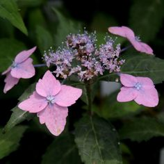 Hydrangea serrata 'Iyo no Jujisei' ('Cross Star of Iyo')