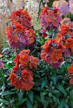 Wallflower winter rouge