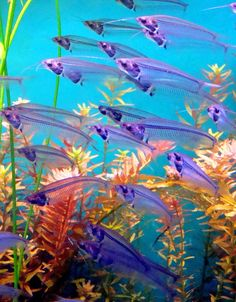 Glass Catfish (kryptopterus vitreolus) ~ Freshwater aquarium fish that can reach up to in. Underwater Creatures, Underwater Life, Ocean Creatures, Underwater Animals, Betta, Freshwater Aquarium, Aquarium Fish, Fauna Marina, Beautiful Sea Creatures