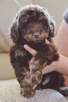 Chocolate & Tan Cavoodle Puppy - I would bring this one home in a heartbeat.