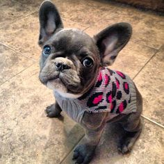 I'll have 10 of these please!!! Thanks Beautiful french bulldog puppy blue