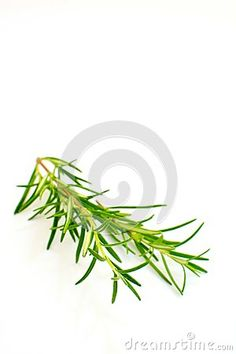 Photo about Fresh rosemary branch isolated on white background. Image of aromatic, flavoured, ingredient - 75419320 Stock Photos, Fresh, Image
