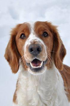 My dog - welsh springer spaniel