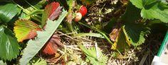 Erdbeeren selber pflücken: Hamburg & Umgebung