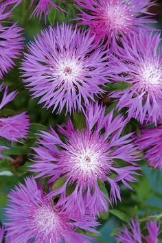 ✯ Persian Cornflower - Centaurea dealbata