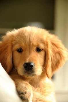 Golden retriever puppy- Mark and I absolutely love goldens! Perros Golden Retriever, Golden Retriever Mix, Retriever Puppy, Golden Retrievers, Golden Retriever Quotes, Loyal Dog Breeds, Loyal Dogs, Puppy Breeds, I Love Dogs