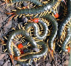 Chinese red-headed centipedes, Scolopendra subspinipes mutilans. Image credit: Department of Biology, the University of New Mexico.