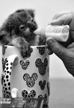 cute little koala baby . animals / bw / @✔ b l a c k w h i t e