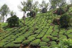 Tea plantation,Munnar Kerala,India