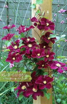 Clematis Warszawska Nike A deciduous climber growing to 3m high. Large rich royal purple flowers with golden stamens are borne from June to September. Grows in most soils in any aspect. Hard prune in February. AGM. Early Large Flowered Group.