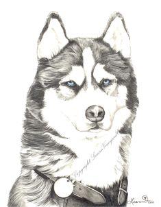 Drawing of a Siberian Husky, print - Husky. $20.00, via Etsy.