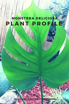 P L A N T  P R O F I L E  Monstera deliciosa  Fruit Salad Plant  Our Green Sanctuary Monstera Deliciosa, South Mexico, Green Colors, Indoor Plants, House Plants, Plant Leaves, Profile, Fruit Salad, Gardens