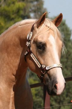 Coliban Threebars Of Gold      (Three Solid Bars x Zipped In Gold)      2007 Palomino Australian AQHA Stallion