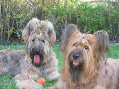 Briard A great French Herding Dog. Dogs, Dog breeds