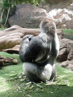 Meditating gorilla at Loro Parque
