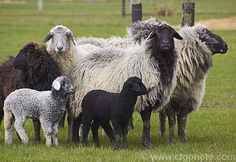 A group of Karakul sheep. The lambs are born black but soon develop the variable adult coloration. The Karakul is a Central Asian fat-tailed sheep breed with a almost goat-like fleece and an ability to withstand heat and drought. Similar animals can be traced as far back as 1400BC and the Karakul may well be the oldest breed of domestic sheep. The breed is named after Karakul or Qaraqul, a city in Bukhara, Uzbekistan, near the Caspian and Aral Seas. All parts of the animal x milk, meat…