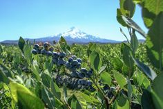 Read about our Fruit of the Month, Mountain Blueberries, in our blog today.