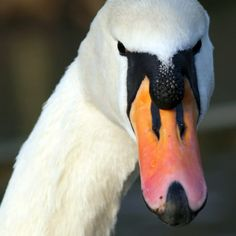 Mute Swans: information & resources about this invasive species.