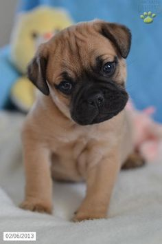 English Bulldog/Puggle Puppy