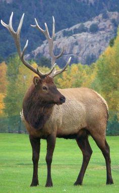 Elk~ Estes Park 2011 - just beautiful Elk Pictures, Animal Pictures, Elk Hunting, Pheasant Hunting, Turkey Hunting, Archery Hunting, Beautiful Creatures, Animals Beautiful, Funny Animals