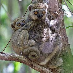 eastern-woolly-lemur-madagascar-2014.png 350×350 Pixel