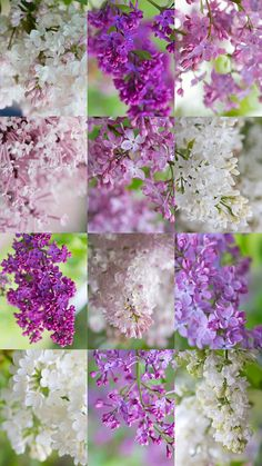 ~~12-Pack o' Lilacs by Synapped~~