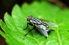 Mucha domowa (Musca domestica) – pospolita mucha domowa jest owadem występującym na całym świecie, na ciemnoszarym tułowiu widoczne są podłużne paski. Posiada aparat typu liżącego, służący do zlizywania pokarmu płynnego lub stałego, który zostaje rozpuszczony enzymami śliny