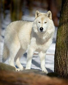 White wolf the most beautiful  wolf ever.