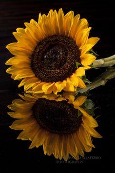 Reflections by Cristobal Garciaferro Rubio Sunflower Garden, Sunflower Art, Sunflower Tattoos, Sunflower Quotes, Sunflower Iphone Wallpaper, Flower Phone Wallpaper, Rose Wallpaper, Beautiful Flower Quotes, Most Beautiful Flowers