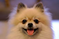 Differences Between Pomeranian and German Spitz