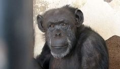 """In an historic ruling this week, Argentine Judge María Alejandra Mauricio declared that Cecilia isn't a thing, but rather a being who is """"subject to nonhuman rights.""""  She ordered that Cecilia be released from her barren home at the infamous Mendoza Zoo and sent to live among her own kind at a sanctuary."""