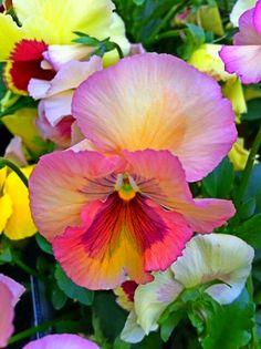 Wonderful Flowers, Pretty Flowers, Exotic Flowers, Purple Flowers, Johnny Jump Up, Flower Pictures, Pansies, Watercolor Flowers, Planting Flowers