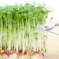 grow microgreens inside over the winter