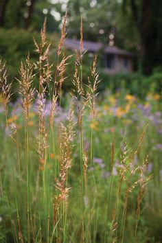 Replace Your Lawn with Grass Alternatives—Indian Grass (Sorghastrum nutans) demonstrates that native grasses can be as lovely as any flower./ATTRACTS: Pheasants for nesting.